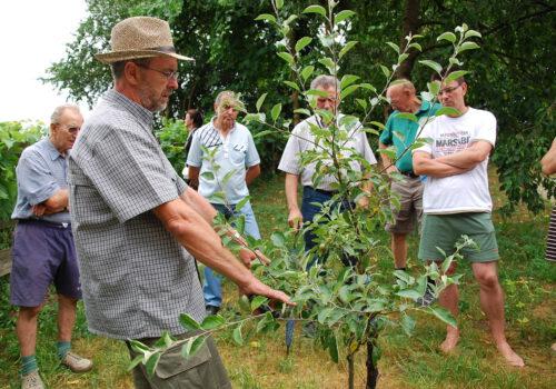 """Obstkolumne """"Streuobst für alle"""": Mathias Dimmling teilt sein Wissen zum sogenannten Sommerschnitt an Obstbäumen"""